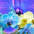Phalaenopsis cascading infused colours