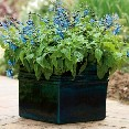 Salvia Black & Blue Proven Winners