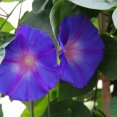 Ipomea Morning Glory