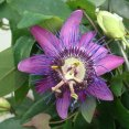 Passion Flower 'Amethyst'