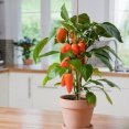 G2366 - Table Pepper 'Snack Orange' With Fuit - Soft