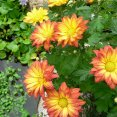 Chrysanthemum Pelee