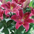 Lily Oriental Starlight Express
