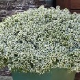 Lobularia White Knight Proven Winners