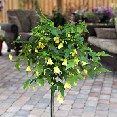 Abutilon STD Yellow