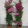Bougainvillea Column