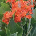Canna Lily Medeira DECO-Style