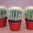 Golden Barrel Cacti 6 inch