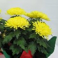 Chrysanthemum Assorted - Commercial