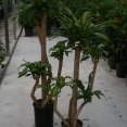 Dracaena Mass. Distinction Cane Set