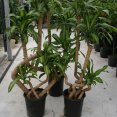 Dracaena Mass. Appeal (curved) Cane Set