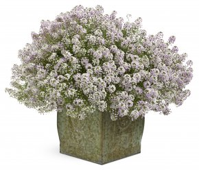 Lobularia Proven Winners