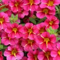 Petunia Calibrachoa Cherry Star Proven Winners