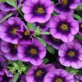 Petunia Calibrachoa Grape Punch Proven Winners