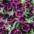 Petunia calibrachoa Blackberry Punch Proven Winners