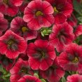 Petunia calibrachoa Pomegranate Punch Proven Winners