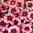 Petunia calibrachoa Strawberry Punch Proven Winners