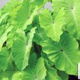 Colocasia 'Elena' DECO-Style /height at maturity 3' - 4'