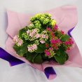 Kalanchoe TRI COLOUR